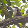 White-throated Treerunner
