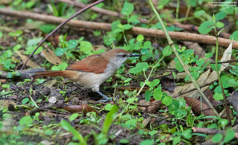 Yellow-chinned Spinetail