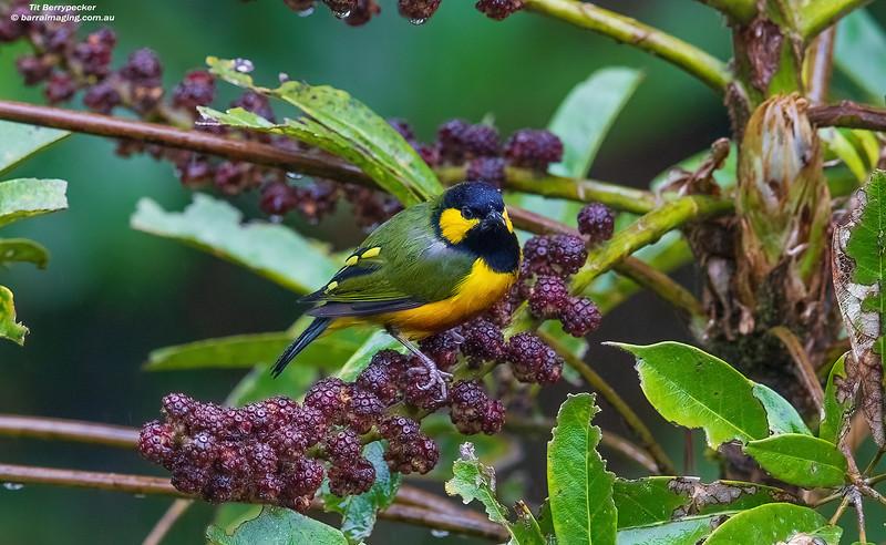 Tit Berrypecker male