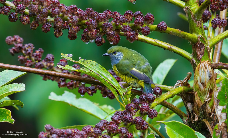 Tit Berrypecker female