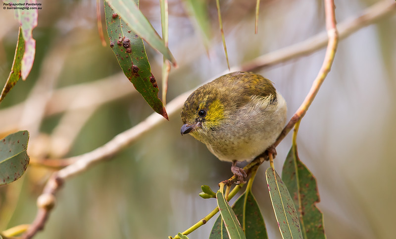 Forty-spotted Pardalote