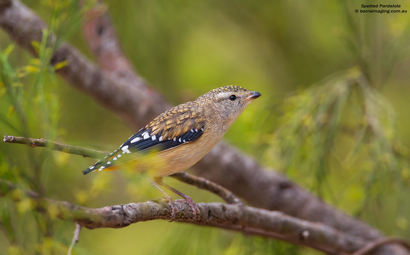 Spotted Pardalote female