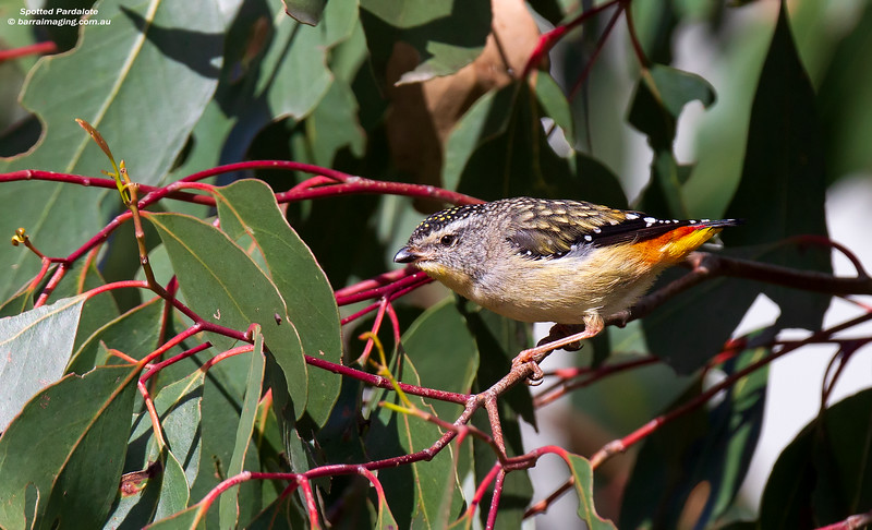 Spotted Pardalote male