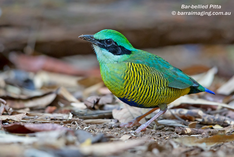 Bar-bellied Pitta male
