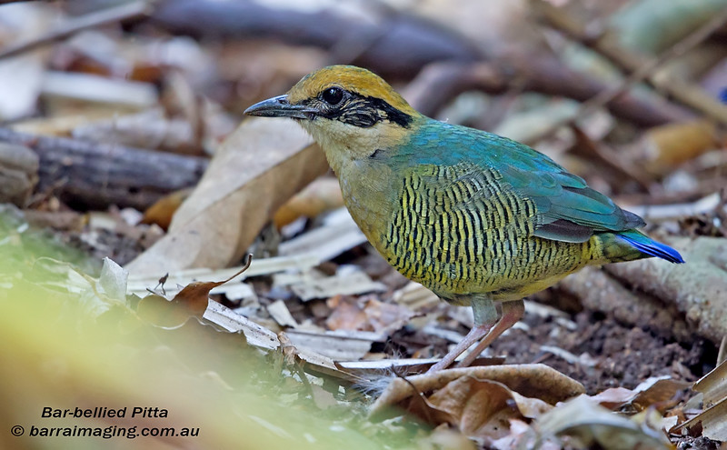 Bar-bellied Pitta female