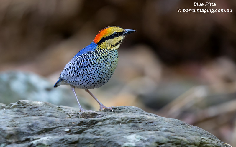 Blue Pitta male