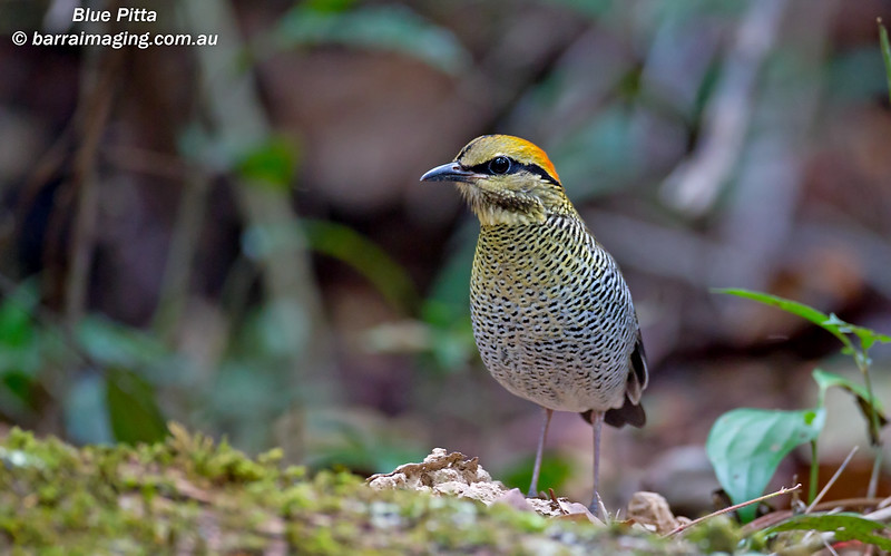 Blue Pitta female