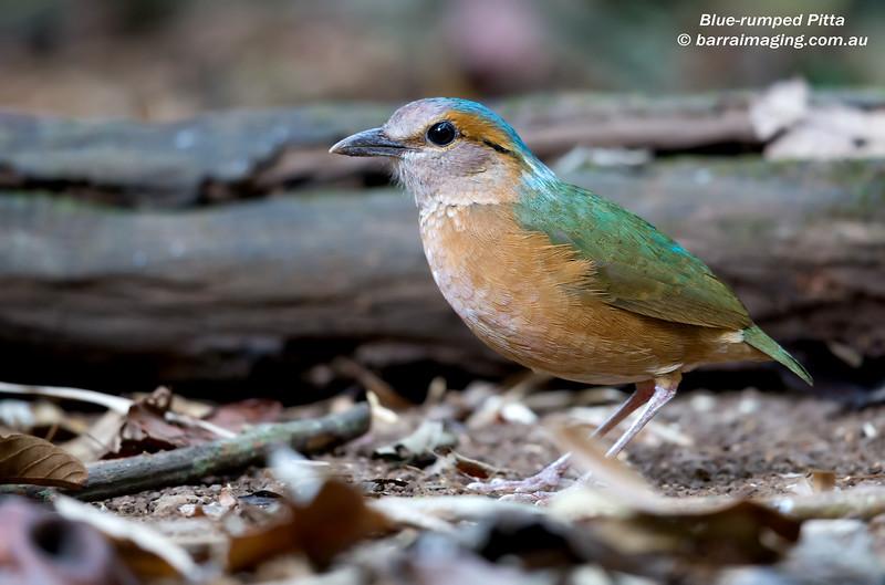 Blue-rumped Pitta male