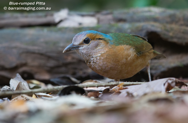 Blue-rumped Pitta male