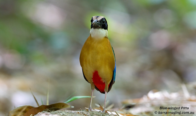 Blue-winged Pitta