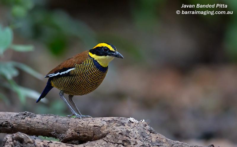 Javan Banded Pitta male