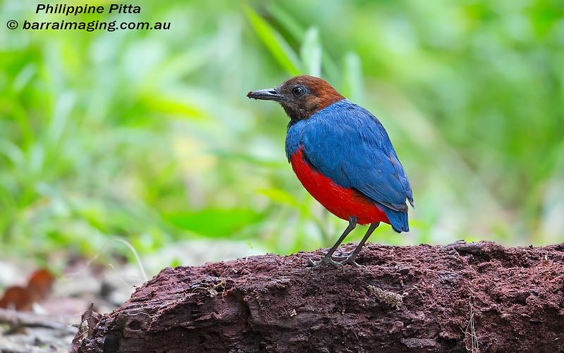 Philippine Pitta