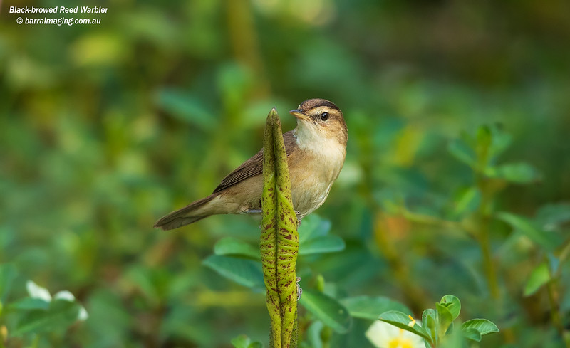 Black-browed Reed Warbler