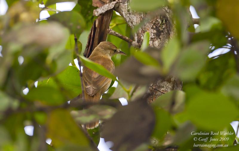 Carolinian Reed Warbler Acrocephalus syrinx Chuk Island Micronesia April 2009 MI-CARW-01