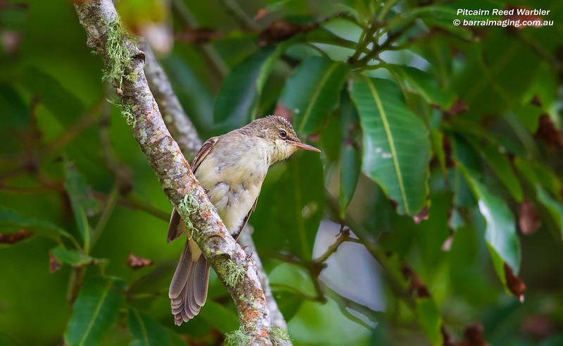 Pitcairn Reed Warbler