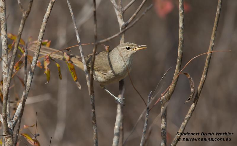Subdesert Brush Warbler