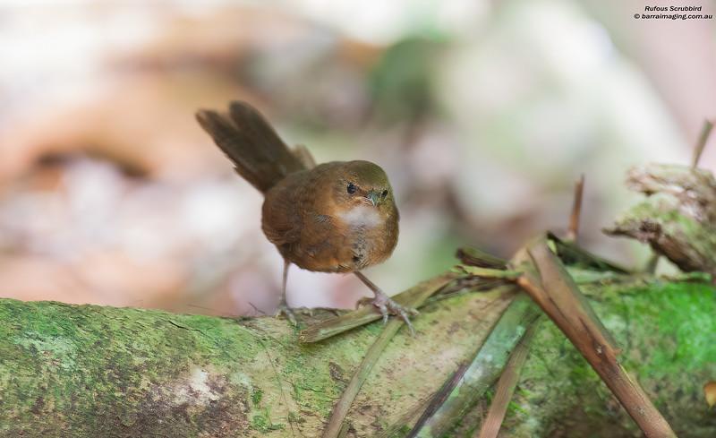Rufous Scrubbird