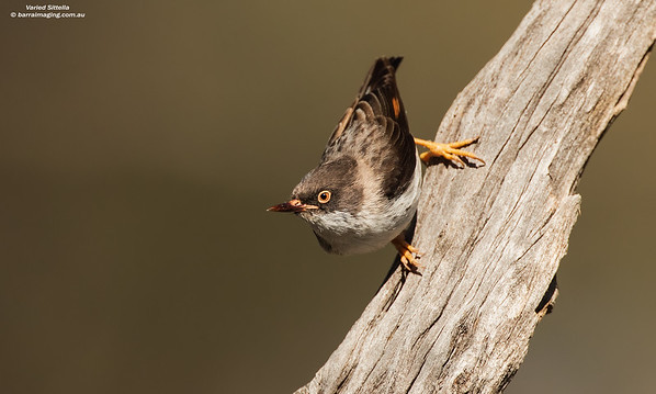 Varied Sittella female