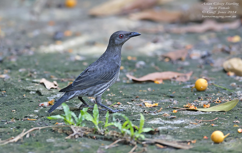 Asian Glossy Starling immature female