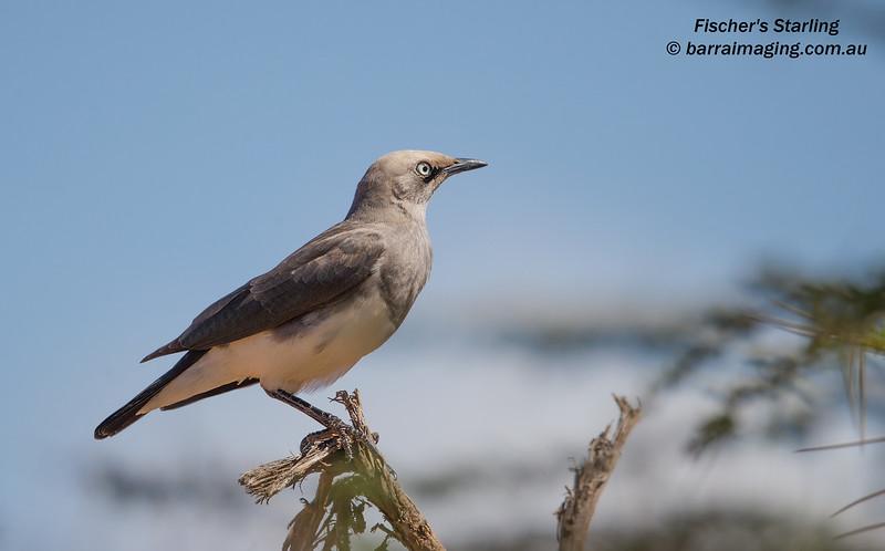 Fischer's Starling