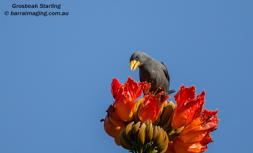 Grosbeak Starling