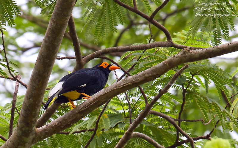 Long-tailed Myna Mino kreffti New Ireland PNG April 2013 PNG-LTMY-01