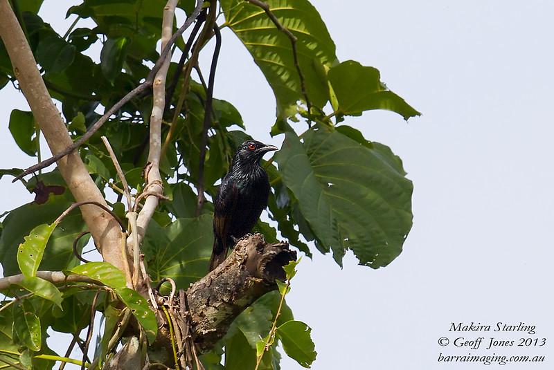 Makira Starling Aplonis dichroa Makira Island Solomons April 2013 SOL-MAST-02
