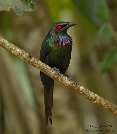 Metallic Starling male