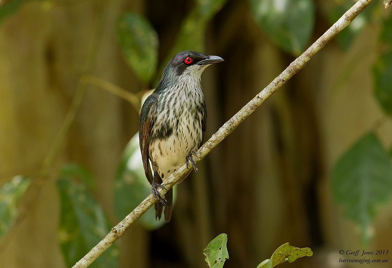 Metallic Starling female