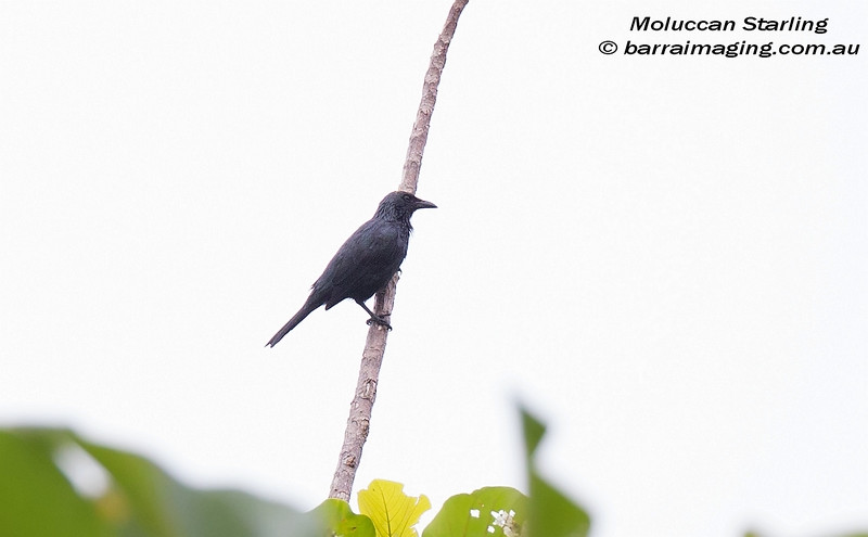 Moluccan Starling 1