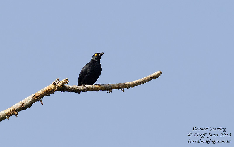 Rennell Starling Aplonis insularis Rennell Island Solomons April 2013 SOL-REST-01