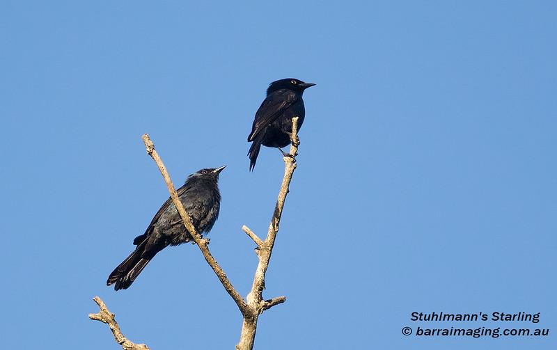 Stuhlmann's Starling