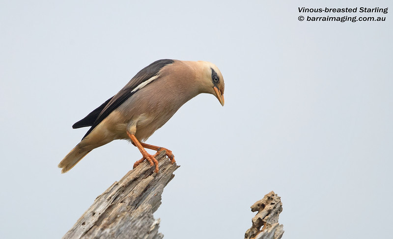 Vinous-breasted Starling