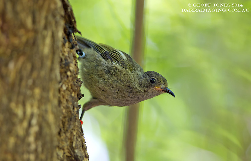 Stitchbird female