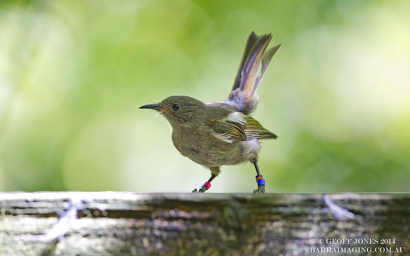Stitchbird female