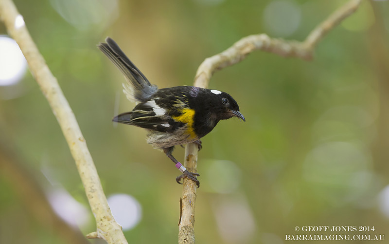 Stitchbird male