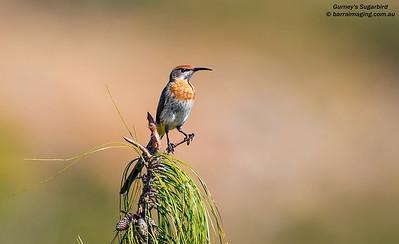 Sugarbirds Family Promeropidae