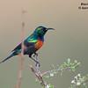 Black-bellied Sunbird