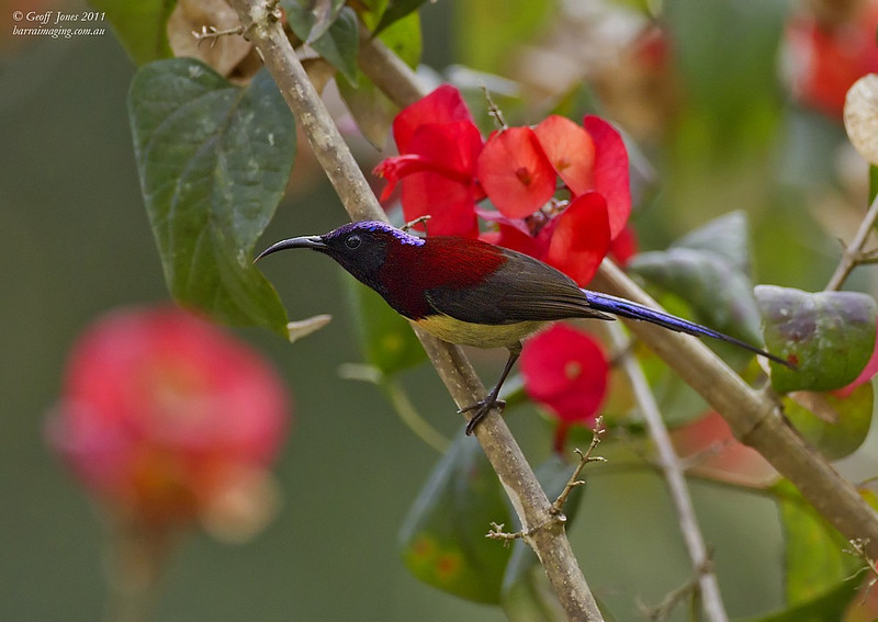 Black-throated Sunbird male