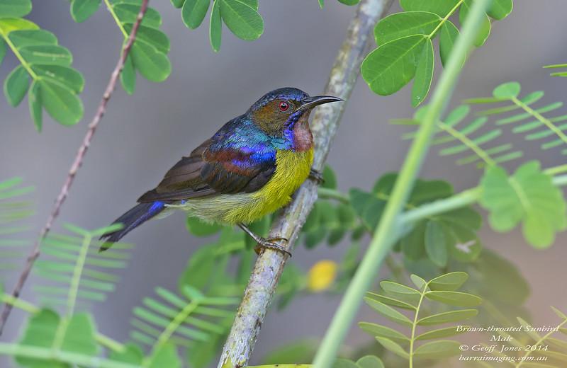 Brown-throated Sunbird male