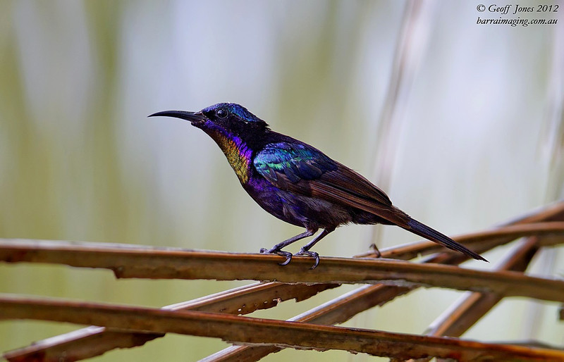 Copper-throated Sunbird male