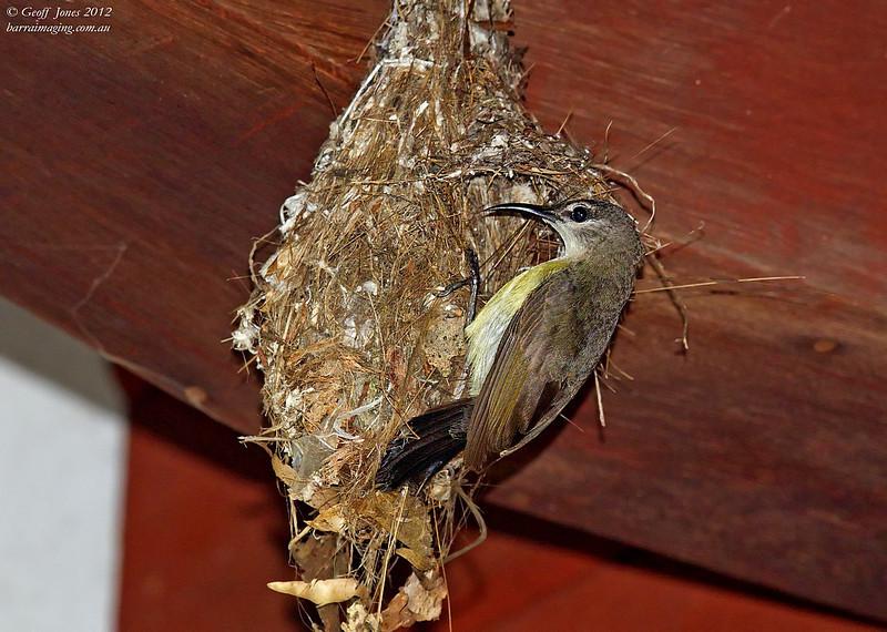 Copper-throated Sunbird female