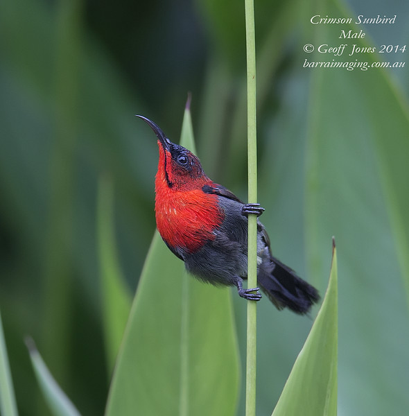 Crimson Sunbird male