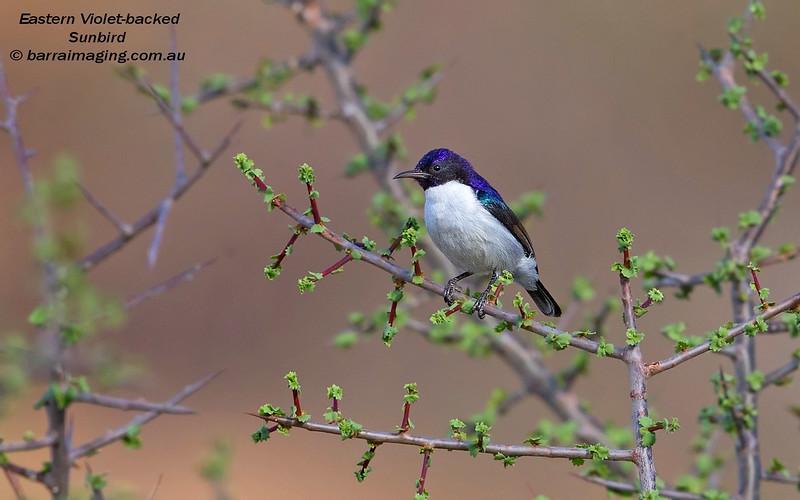 Eastern Violet-backed Sunbird