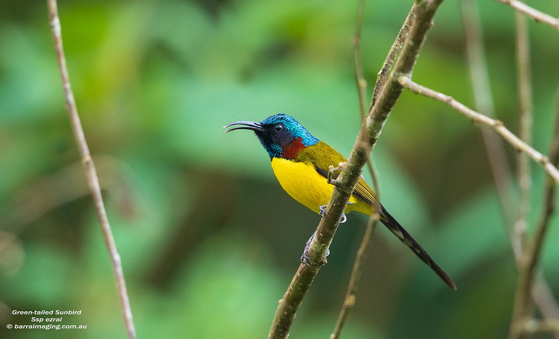 Green-tailed Sunbird male