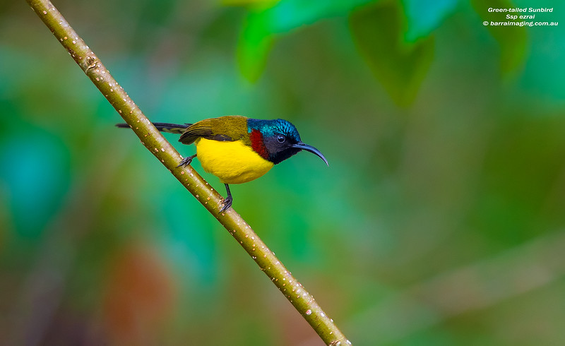 Green-tailed Sunbird male