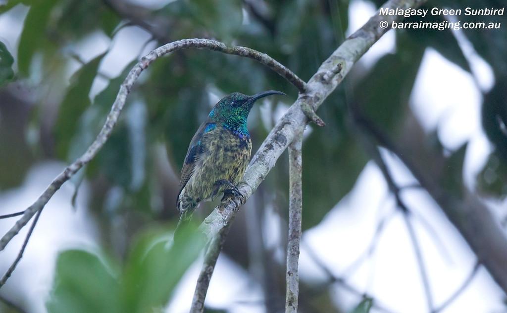 Malagasy Green Sunbird