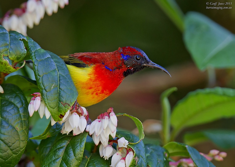 Mrs. Gould's Sunbird male