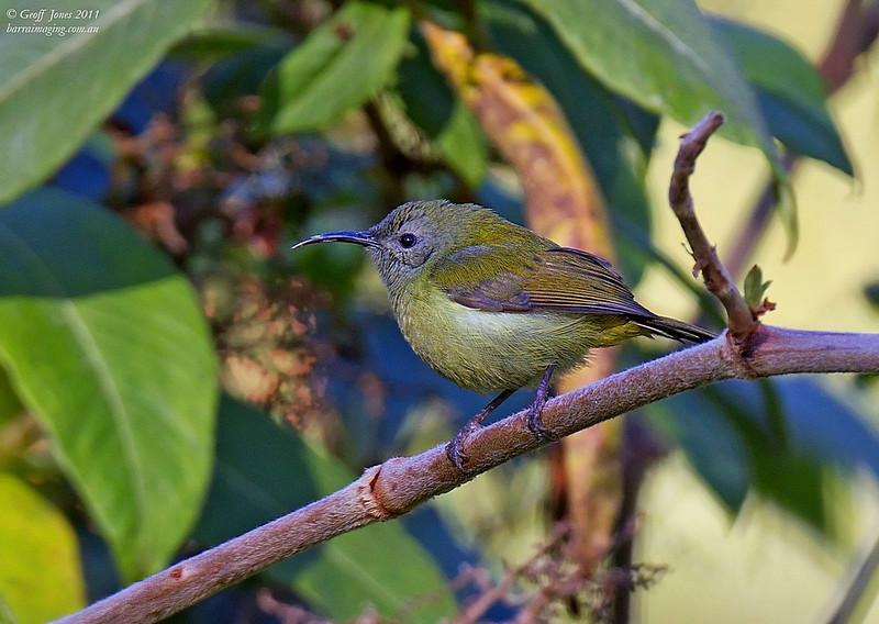 Mrs. Gould's Sunbird female