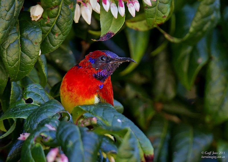 Mrs. Gould's Sunbird male